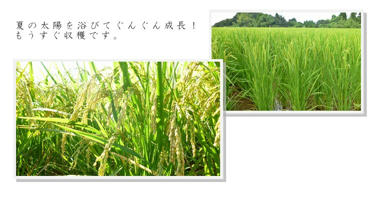 お米育成2