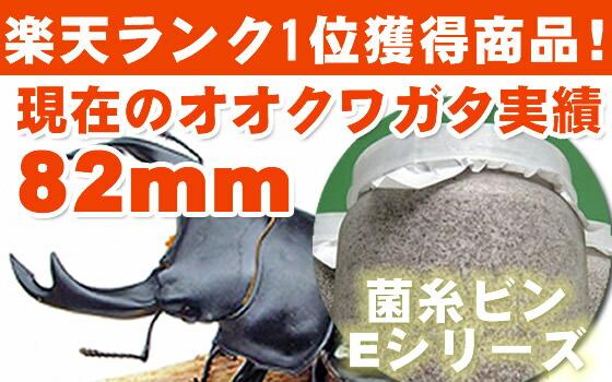 オオクワガタ79.9mmの実績 Eシリーズ