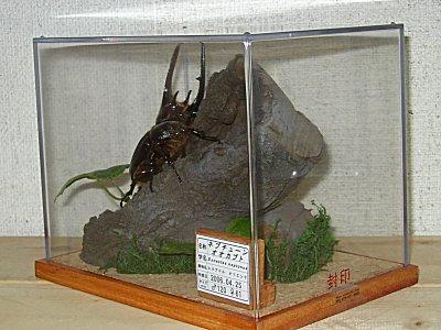 (009)ネプチューンオオカブト [右面]