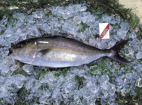 【鹿児島の錦江湾】 カンパチ(かんぱち)  (約3.5kg~4kg)