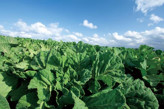 農薬・化学肥料不使用の国産ケール100%