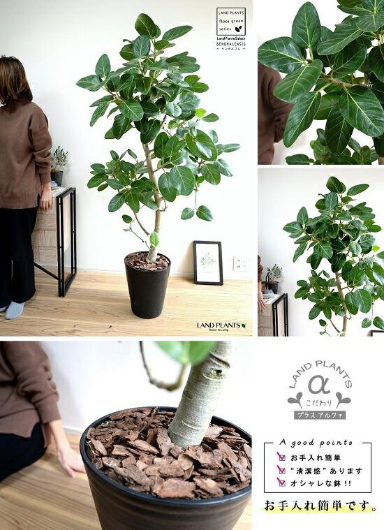 ベンガル ゴム の 木