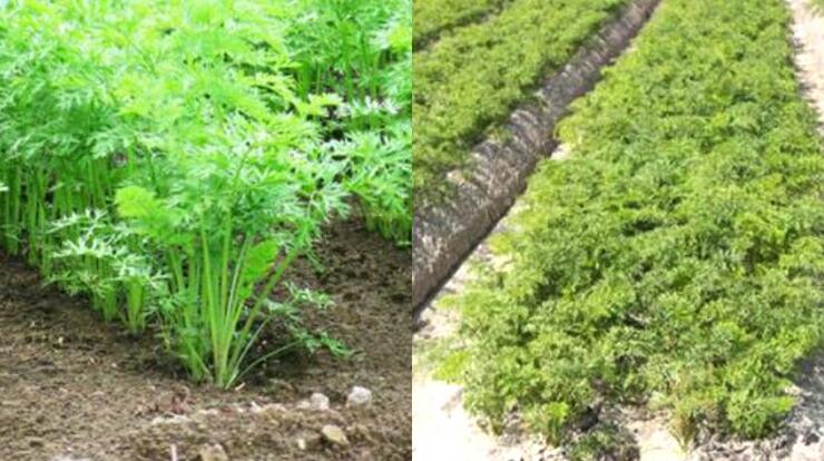 LUCAS ドライベジタブル サラダ・スープ 無農薬野菜の農場の様子です