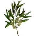 ティートリーの葉