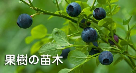 果樹の苗 木