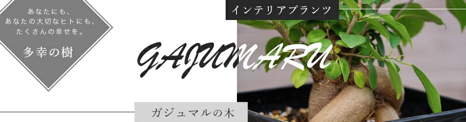 ガジュマル 観葉植物 インテリアプランツ 常緑樹 楽天