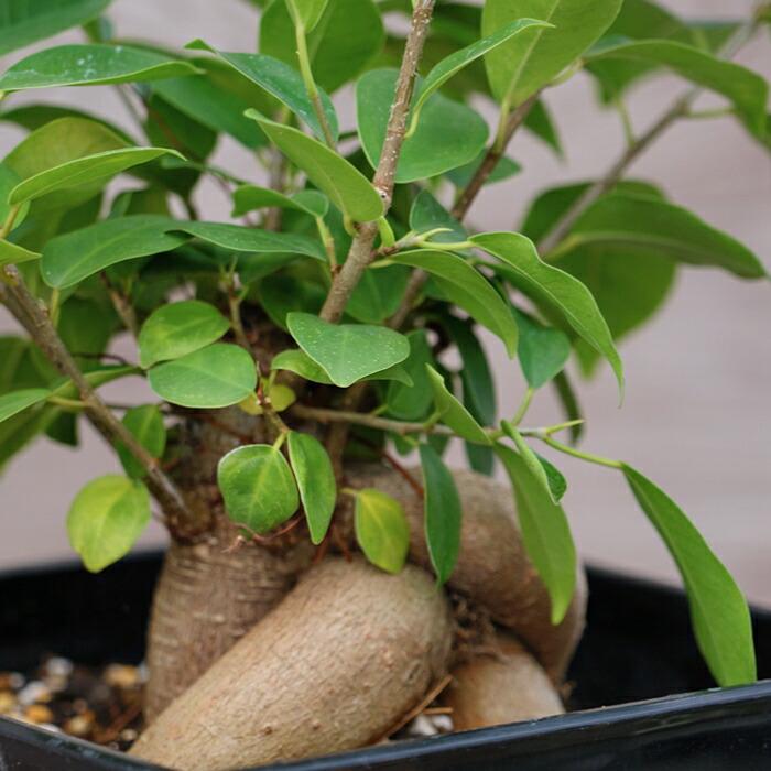 観葉植物 常緑樹 幸福の樹