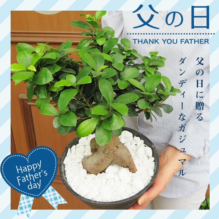 がじゅまるの木 インテリアプランツ 観葉植物