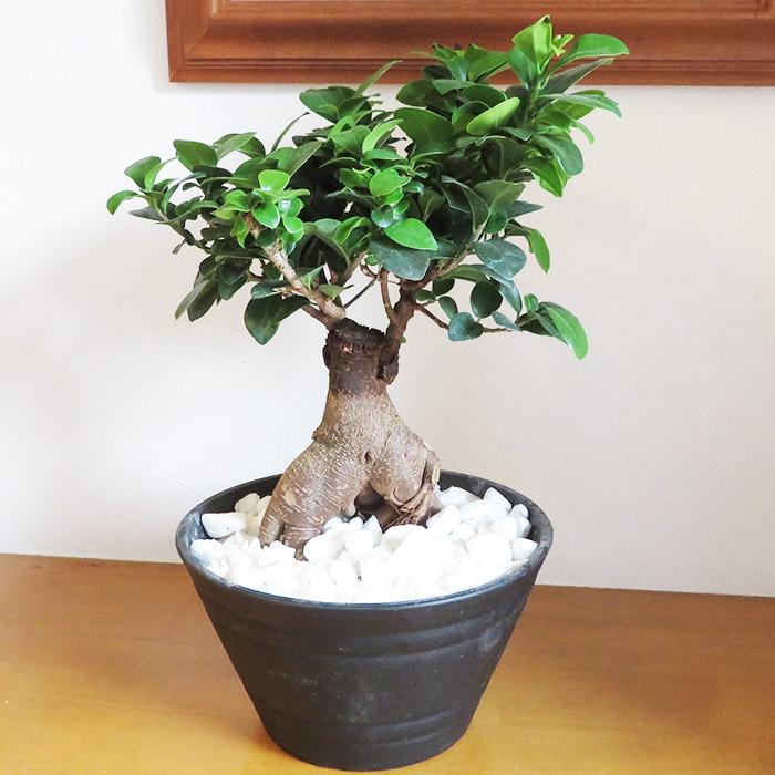 観葉植物 鉢植え 7号鉢