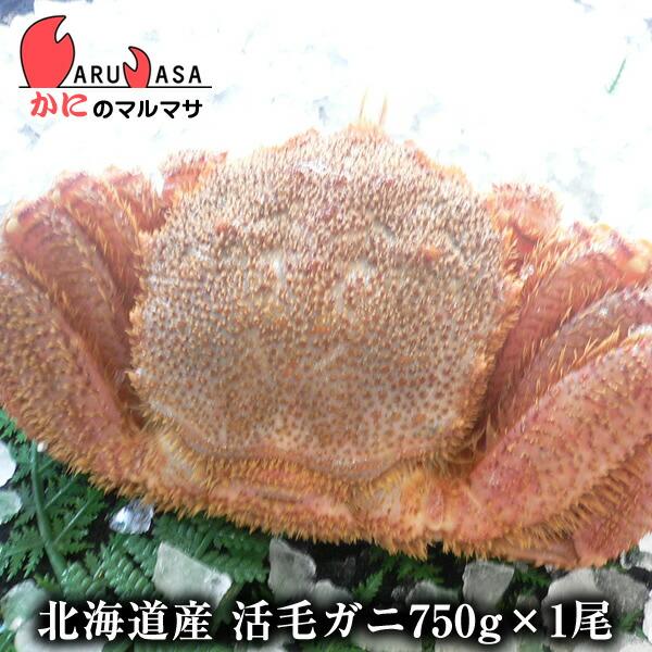 【かにのマルマサ】新鮮活毛ガニ750g前後期間限定価格!身入りばっちり!蟹みそがたっぷりつまった毛がに北海道産極上毛蟹!