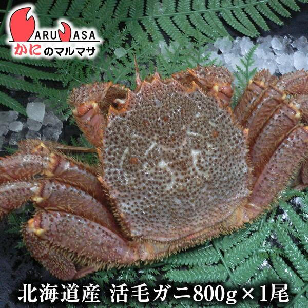 【かにのマルマサ】新鮮活毛ガニ800g前後期間限定価格!身入りばっちり!蟹みそがたっぷりつまった毛がに北海道産極上毛蟹!