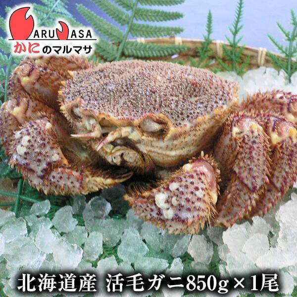 【かにのマルマサ】新鮮活毛ガニ850g前後期間限定価格!身入りばっちり!蟹みそがたっぷりつまった毛がに北海道産極上毛蟹!