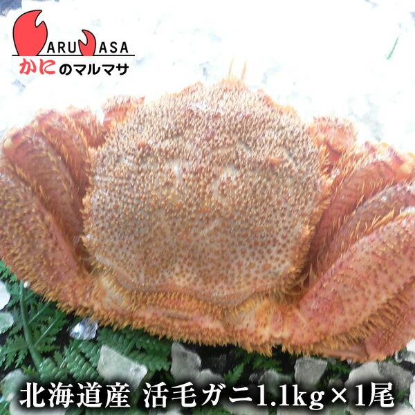 【かにのマルマサ】新鮮活毛ガニ1.1kg前後期間限定価格!身入りばっちり!蟹みそがたっぷりつまった毛がに北海道産極上毛蟹!