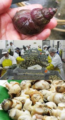 ボイルつぶ貝生産現場写真