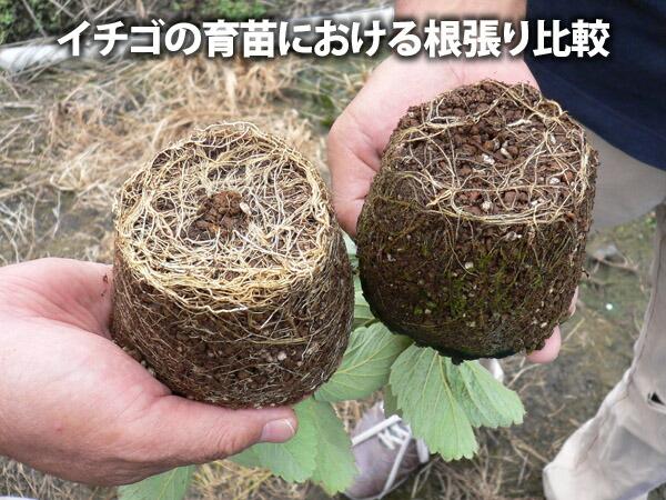 イチゴ育苗期根張り比較
