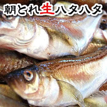 朝とれハタハタ(生)小サイズ 1kg