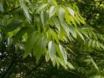 ソープナッツの葉