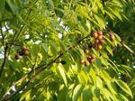 ソープナッツの葉と実