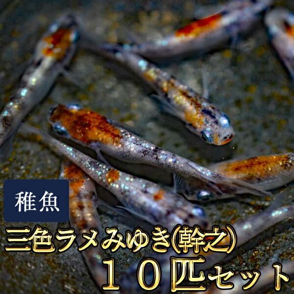 新系統 / 三色ラメみゆき(幹之)めだか 虹色ラメ 未選別 稚魚 SS〜Sサイズ 10匹セット