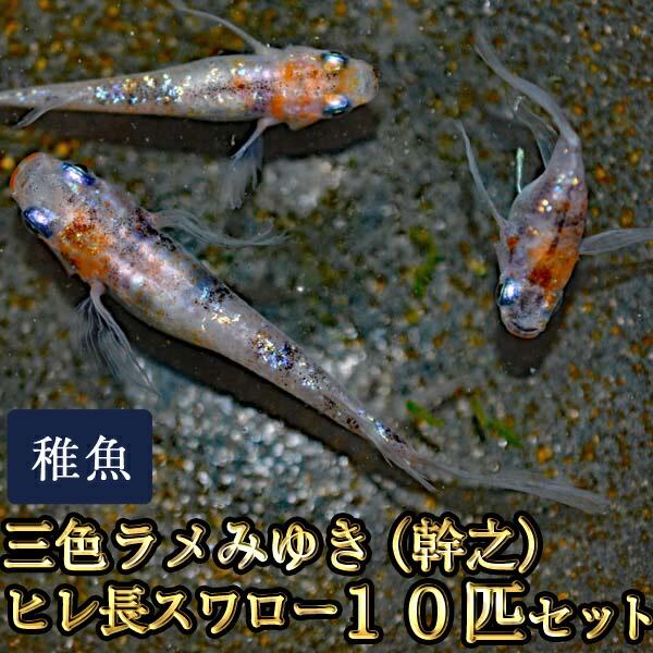 三色ラメみゆき(幹之)ヒレ長スワローめだか 虹色ラメ 未選別 稚魚 SS〜Sサイズ 10匹セット