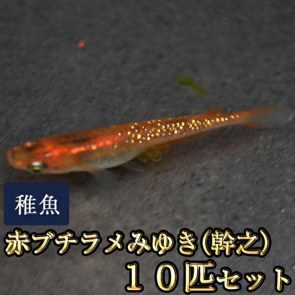赤ブチラメみゆき(幹之)めだか 虹色ラメ 未選別 稚魚 SS〜Sサイズ 10匹セット