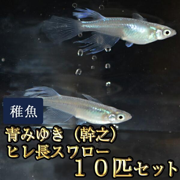 青みゆき(幹之)ヒレ長スワローめだか 松井系 未選別 稚魚 SS〜Sサイズ 10匹セット