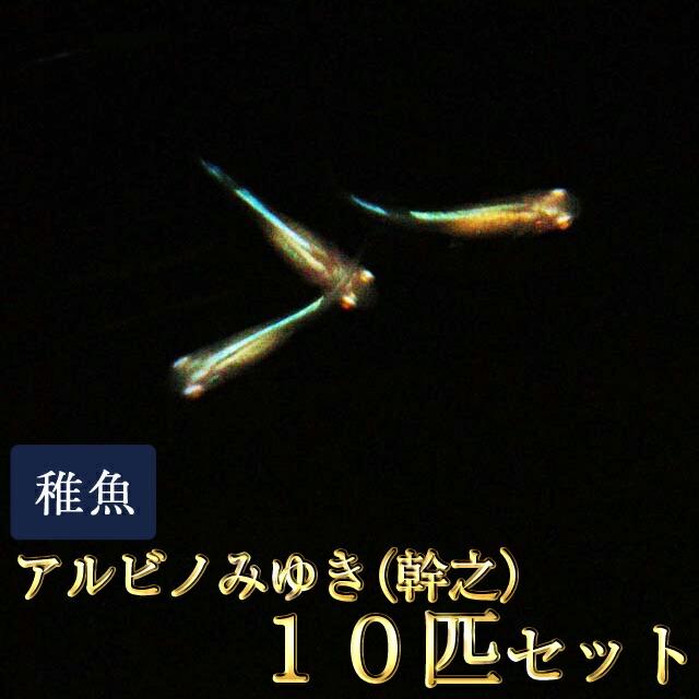 アルビノみゆき(幹之)めだか 未選別 稚魚 SS〜Sサイズ 10匹セット
