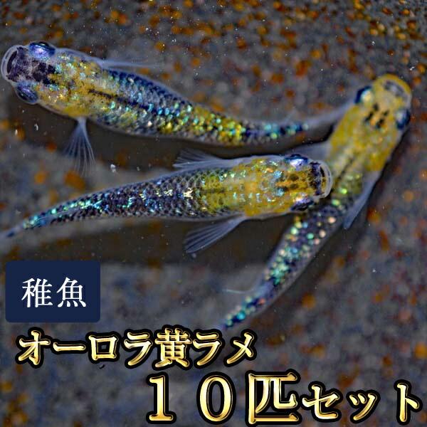 オーロラ黄ラメめだか 虹色ラメ 未選別 稚魚 SS〜Sサイズ 10匹セット