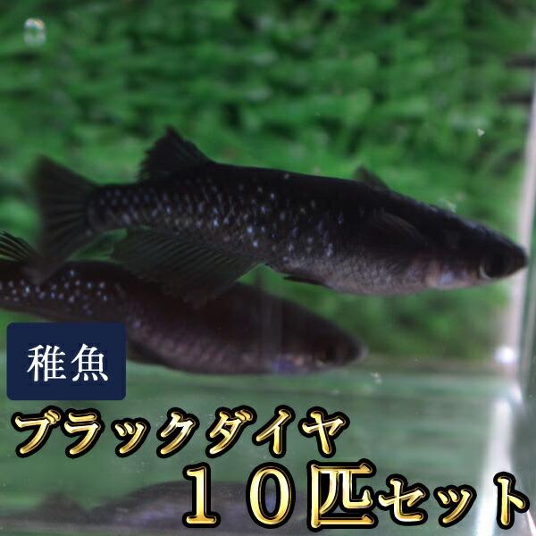 ブラックダイヤ / オロチラメめだか 未選別 稚魚 SS〜Sサイズ 10匹セット