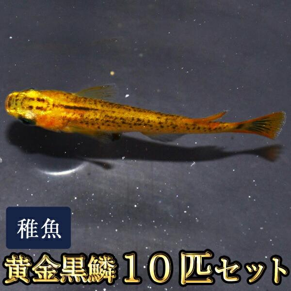 黄金黒鱗めだか 稚魚 SS〜Sサイズ 10匹セット