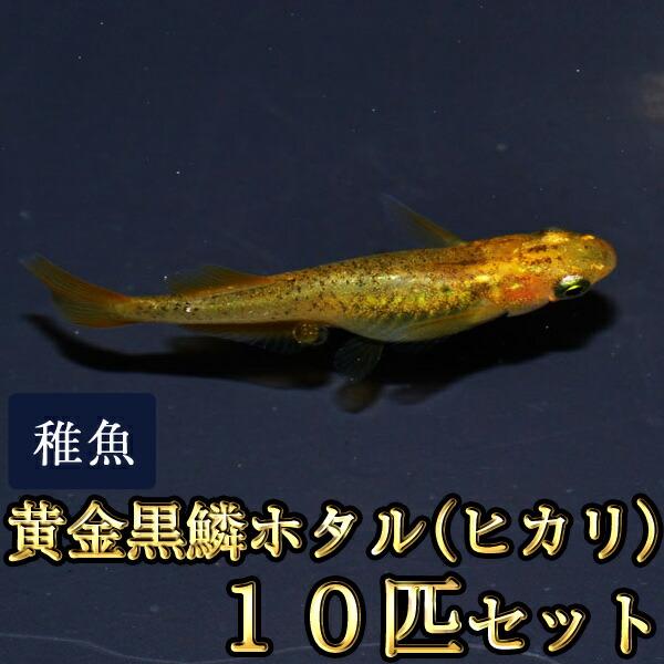 黄金黒鱗ホタル(ヒカリ)めだか 稚魚 SS〜Sサイズ 10匹セット