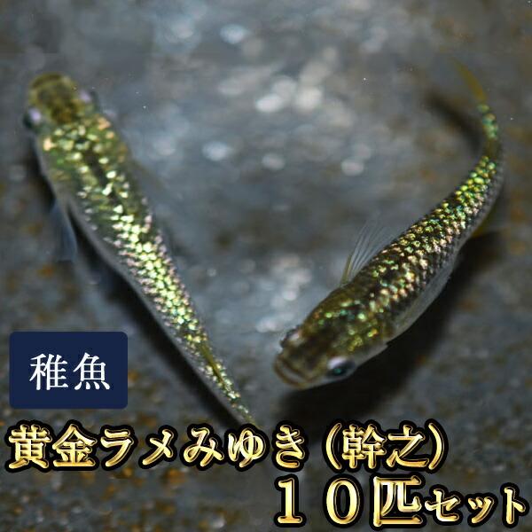 黄金ラメみゆき(幹之)めだか 虹色ラメ 未選別 稚魚 SS〜Sサイズ 10匹セット