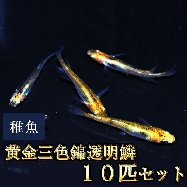 黄金三色錦透明鱗めだか 未選別 稚魚 SS〜Sサイズ 10匹セット