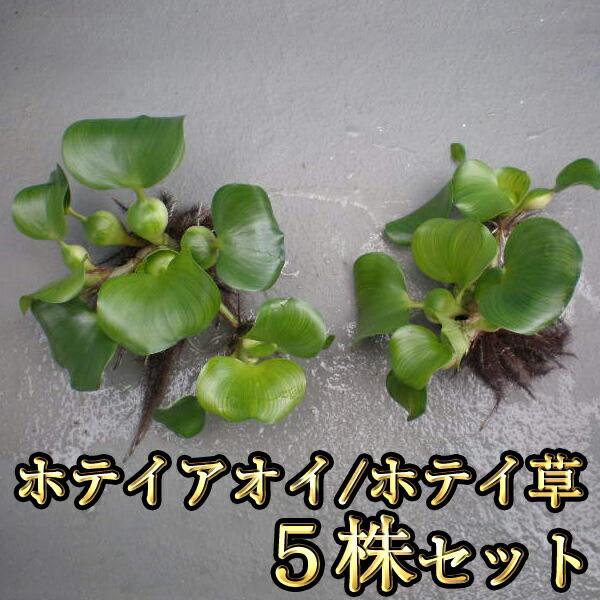 ホテイアオイ 5株セット / ホテイ草