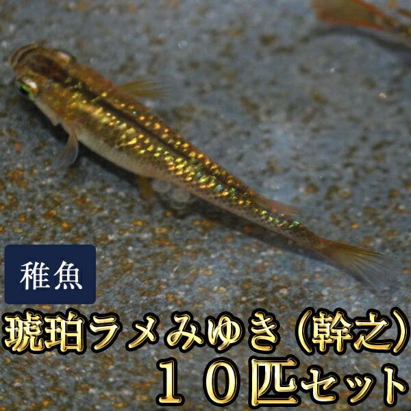 琥珀ラメみゆき(幹之)めだか 虹色ラメ 未選別 稚魚 SS〜Sサイズ 10匹セット