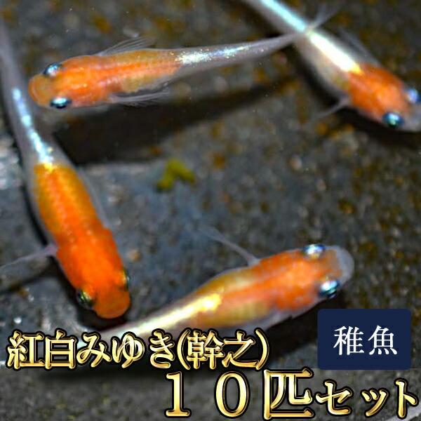 紅白みゆき(幹之)めだか 体外光 未選別 稚魚 SS〜Sサイズ 10匹セット