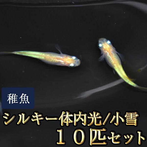 小雪 / シルキー体内光めだか 未選別 稚魚 SS〜Sサイズ 10匹セット