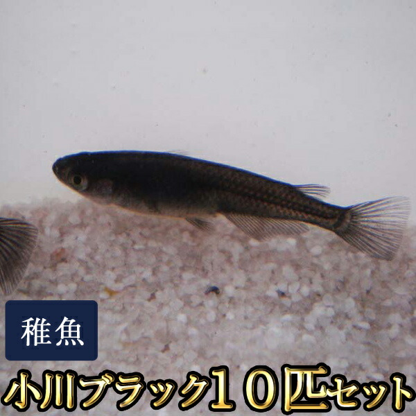 小川ブラックめだか 稚魚 SS〜Sサイズ 10匹セット