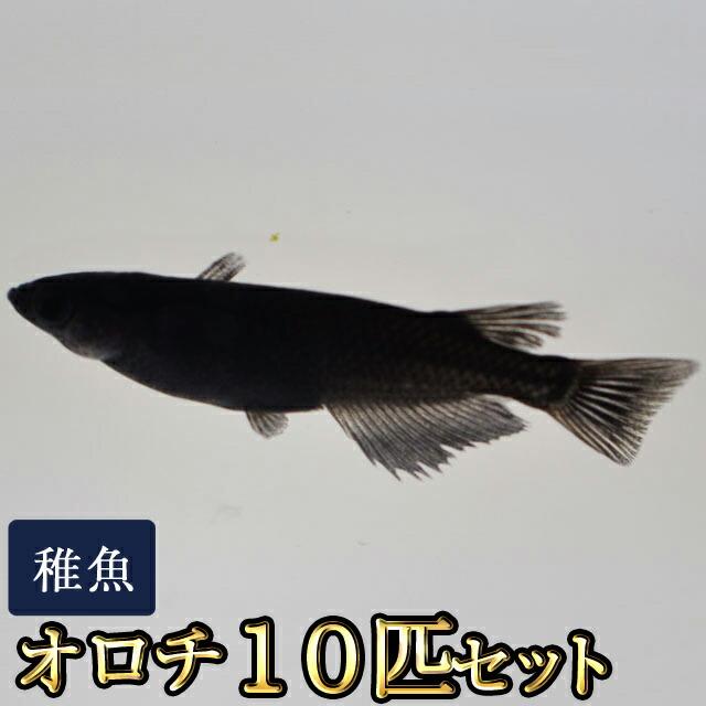 オロチめだか 稚魚 SS〜Sサイズ 10匹セット