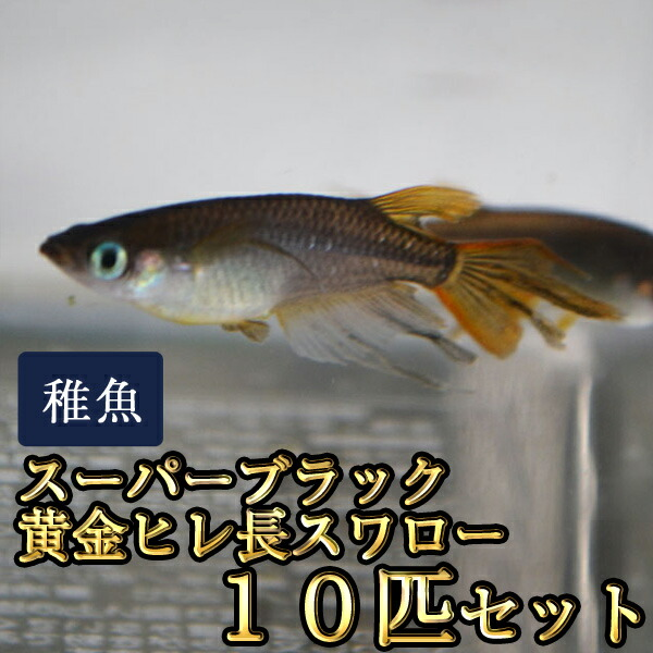 スーパーブラック黄金ヒレ長スワローめだか 未選別 稚魚 SS〜Sサイズ 10匹セット / 晴信