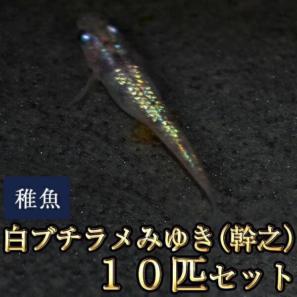 白ブチラメみゆき(幹之)めだか 虹色ラメ 未選別 稚魚 SS〜Sサイズ 10匹セット