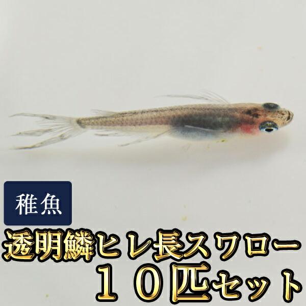 透明鱗ヒレ長スワローめだか 未選別 稚魚 SS〜Sサイズ 10匹セット