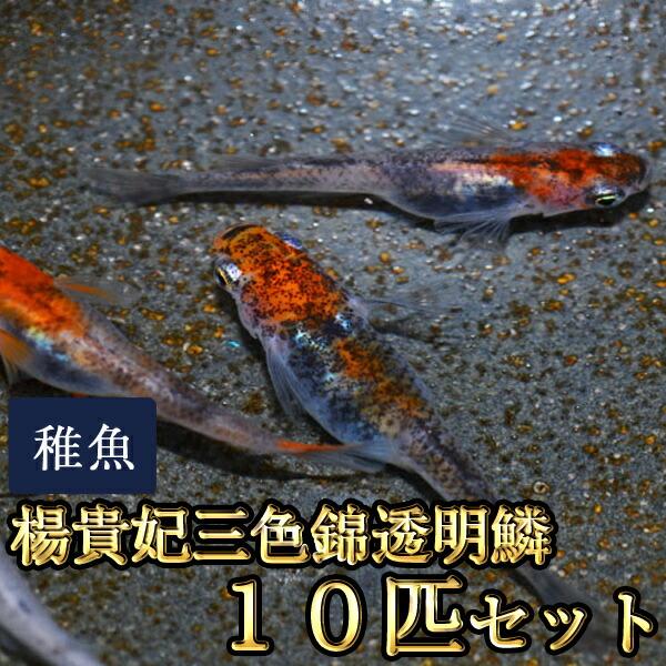 楊貴妃三色錦透明鱗めだか 未選別 稚魚 SS〜Sサイズ 10匹セット
