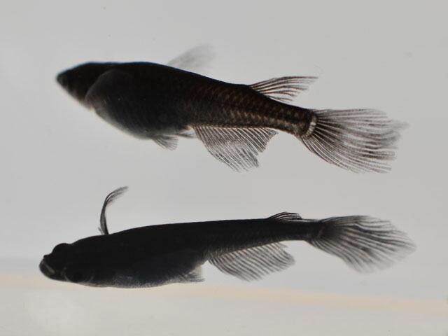 サタン / オロチヒレ長スワローめだか 未選別 稚魚 SS〜Sサイズ 10匹セット