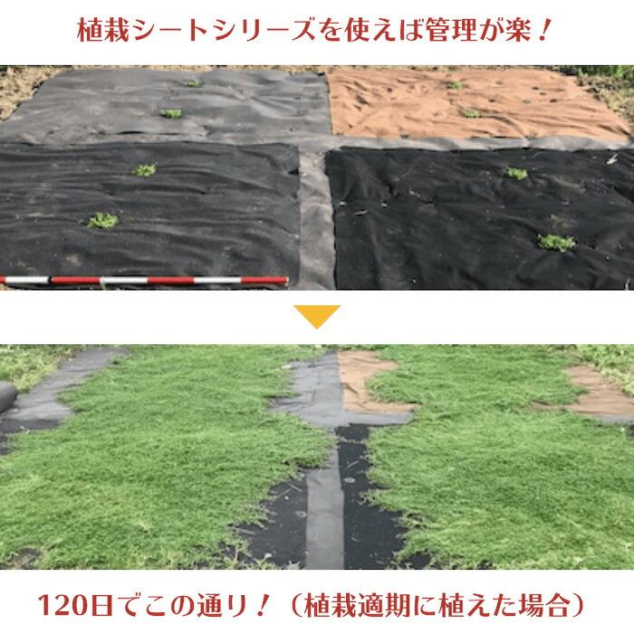 クラピア専用シートを使った場合のクラピアK7の成長過程