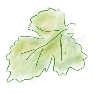 桑の葉とは