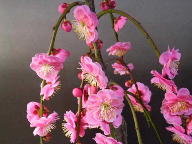 【楽天市場】しだれ梅枝垂れ梅八重シダレ梅苗 とても人気のあるピンク しだれ梅 苗 ピンクの八重咲