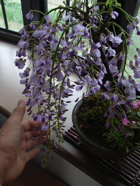 香りがすばらしい 高貴な紫と 【藤盆栽】 藤盆栽:黒竜藤2018年4月開花藤盆栽となります