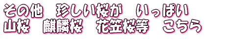 その他 珍しい桜が いっぱい    山桜 麒麟桜 花笠桜等 こちら