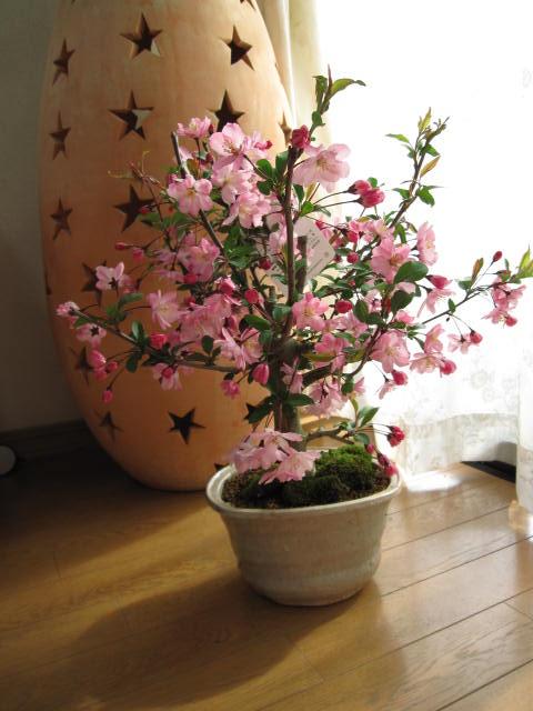 花カイドウサクラ盆栽